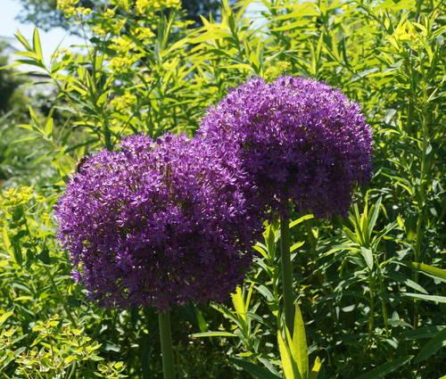 Produktbild Allium Hybride 'Ambassador' ® - Riesen-Lauch