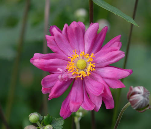 Produktbild Anemone Japonica-Hybride 'Bressingham Glow' - Herbst-Anemone