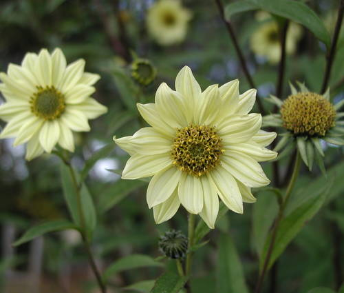 Produktbild Helianthus giganteus 'Sheila's Sunshine' - Riesen-Sonnenblume
