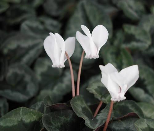 Produktbild Cyclamen hederifolium 'Album' - Herbst-Alpenveilchen