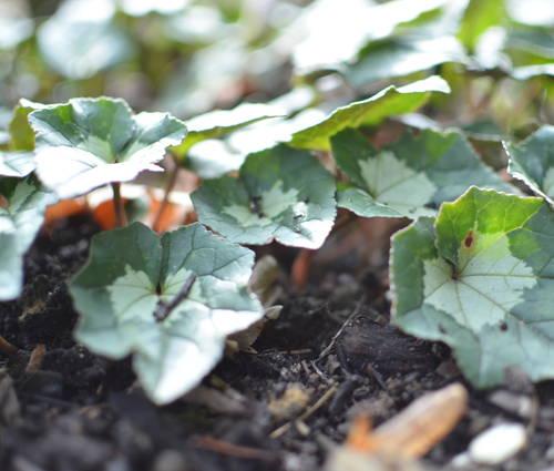 Produktbild Cyclamen hederifolium - Herbst-Alpenveilchen