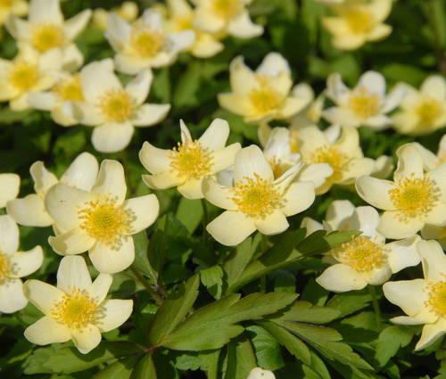 Produktbild Anemone x lipsiensis - Leipziger Busch-Windröschen