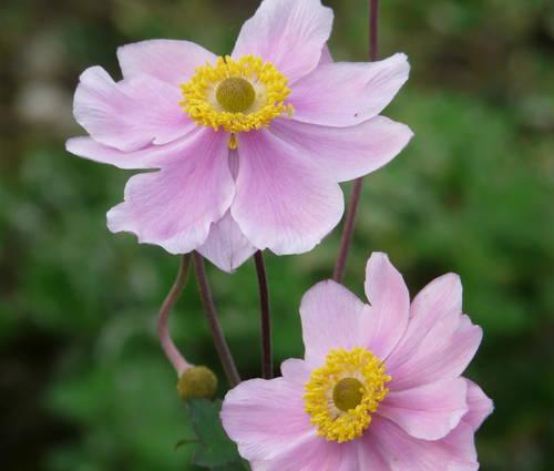 Produktbild Anemone tomentosa 'Serenade' - Herbst-Anemone