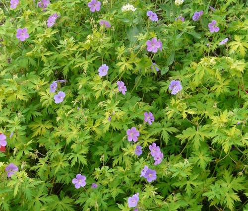 Produktbild Geranium Hybride 'Blue Sunrise' ® - Storchschnabel