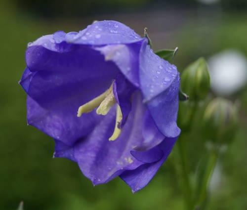 Produktbild Campanula persicifolia 'Blue Bloomers' - Pfirsichblättrige Glockenblume