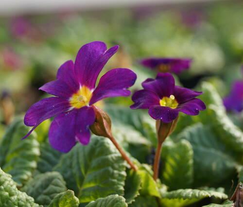 Produktbild Primula x pruhoniciana 'Wanda' - Garten-Teppich-Primel