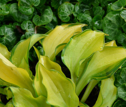 Produktbild Hosta Hybride 'Cracker Crumbs' - Gold-Funkie