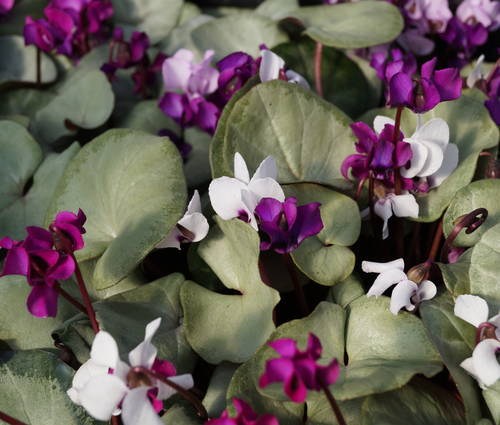 Produktbild Cyclamen coum 'Silver Leaf' - Frühlings-Alpenveilchen