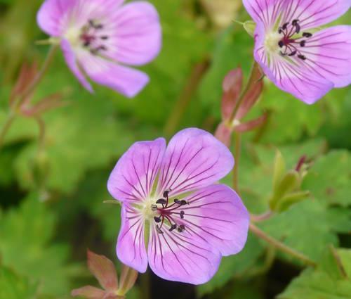 Produktbild Geranium Hybride 'Sweet Heidy' ® - Storchschnabel