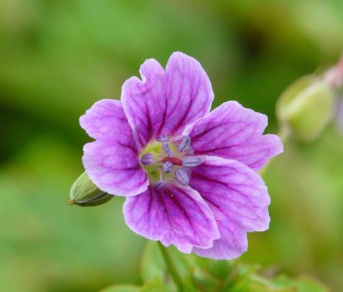 Produktbild Geranium nodosum 'Clos du Coudray' - Bergwald-Storchschnabel