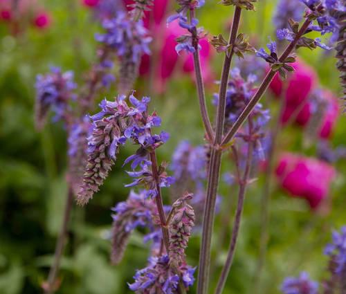 Produktbild Salvia Nemorosa-Hybride 'Saxdorf' - Nickender Steppen-Salbei