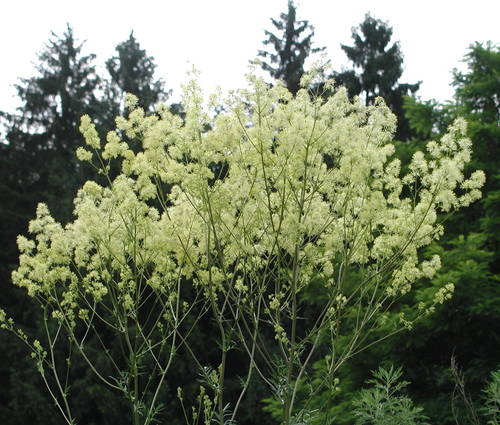 Produktbild Thalictrum lucidum - Hohe Wiesenraute