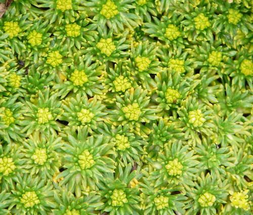 Produktbild Azorella trifurcata 'Nana' - Andenpolster