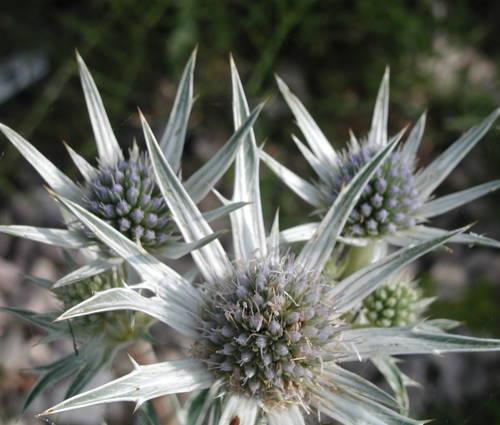Produktbild Eryngium bourgatii - Spanische Edeldistel, Mannstreu