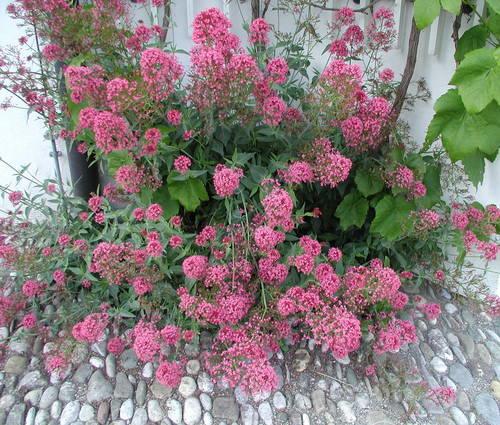Produktbild Centranthus ruber var. coccineus 'Rosenrot' - Spornblume