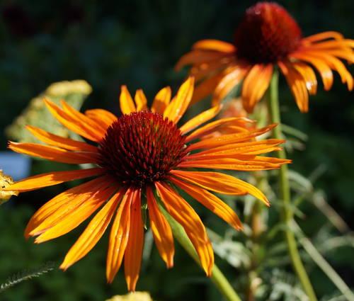 Produktbild Echinacea Hybride 'Flame Thrower' ® - Zweifarbiger Sonnenhut
