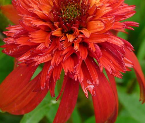 Produktbild Echinacea Hybride 'Hot Papaya' ® - Gefüllter Sonnenhut