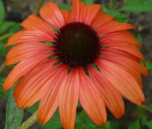 Produktbild Echinacea Hybride 'Tangerine Dream' ® - Oranger Sonnenhut