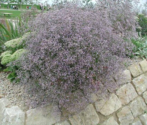 Produktbild Limonium latifolium 'Violetta' - Blauer Strandflieder, Steppen-Blauschleier