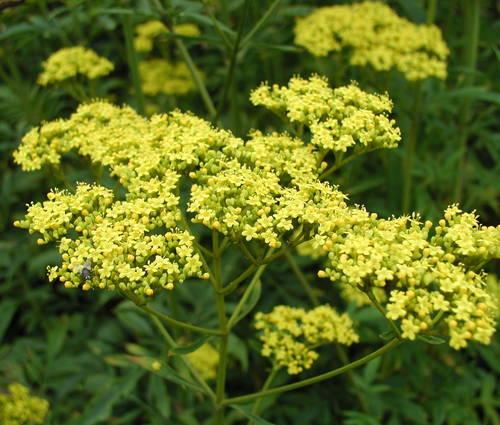 Produktbild Patrinia scabiosifolia - Hoher Goldbaldrian