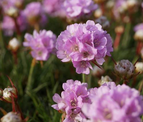 Produktbild Armeria Juniperifolia-Hybride 'Röschen' - Zwerg-Grasnelke