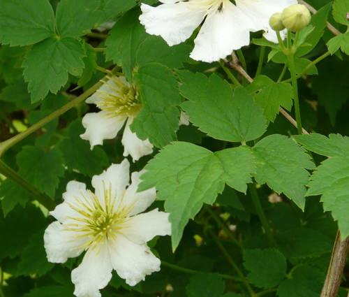 Produktbild Clematis potaninii - Weiße Waldrebe
