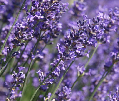 Produktbild Lavandula angustifolia 'Munstead' - Garten-Lavendel