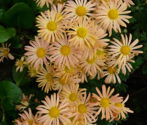 Produktbild Chrysanthemum Zawadskii-Hybride 'Mary Stoker' - Frühe Herbst-Chrysantheme