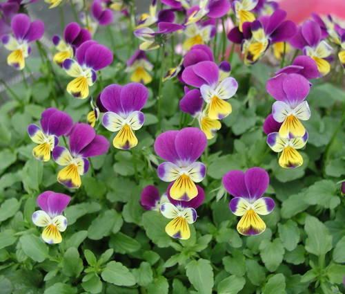 Produktbild Viola tricolor 'Kulturform' - Wildes Stiefmütterchen