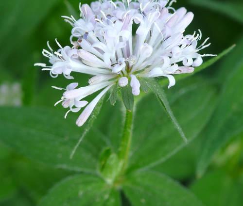 Produktbild Asperula taurina var. caucasica - Taurischer Waldmeister
