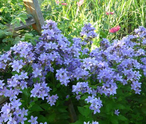 Produktbild Campanula lactiflora 'Sommerhimmel' - Große Dolden-Glockenblume