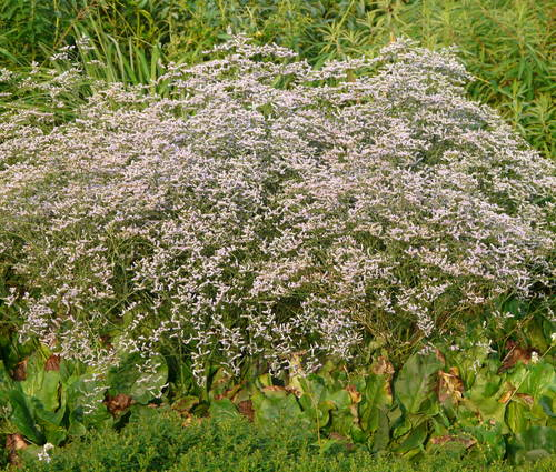 Produktbild Limonium latifolium - Blauer Strandflieder