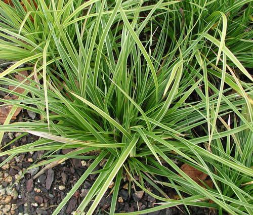 Produktbild Carex morrowii 'Variegata' - Weißrand-Japan-Segge
