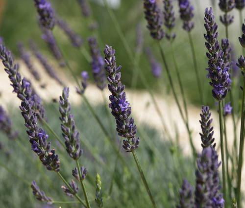Produktbild Lavandula x intermedia 'Arabian Nights' - Provence-Lavendel
