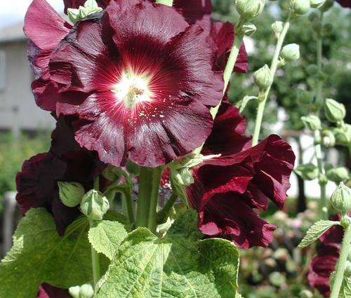 Produktbild Alcea rosea 'Nigra' - Schwarze Stockrose