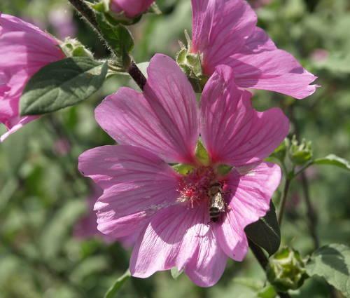 Produktbild Lavatera Olbia-Hybride 'Kew Rose' - Buschmalve