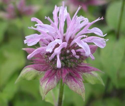 Produktbild Monarda Fistulosa-Hybride 'Elsie's Lavender' - Indianernessel