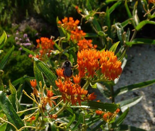 Produktbild Asclepias tuberosa ssp. interior - Knollige Seidenpflanze