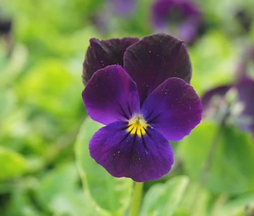 Produktbild Viola cornuta 'Bowles Black' - Horn-Veilchen