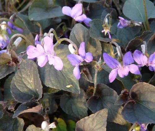 Produktbild Viola labradorica - Grönland-Veilchen