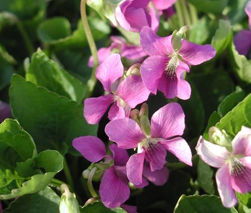 Produktbild Viola sororia 'Rubra' - Rotes Pfingst-Veilchen