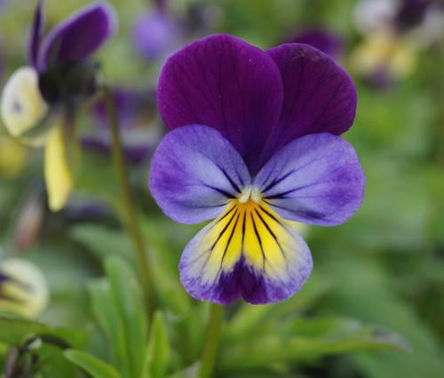 Produktbild Viola tricolor - Wildes Stiefmütterchen