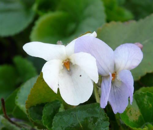 Produktbild Viola odorata 'Reine de Neiges' - Hellblaues Duft-Veilchen