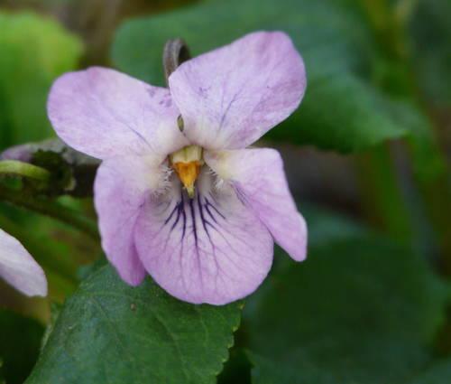 Produktbild Viola odorata 'Orchid Pink' - Duft-Veilchen