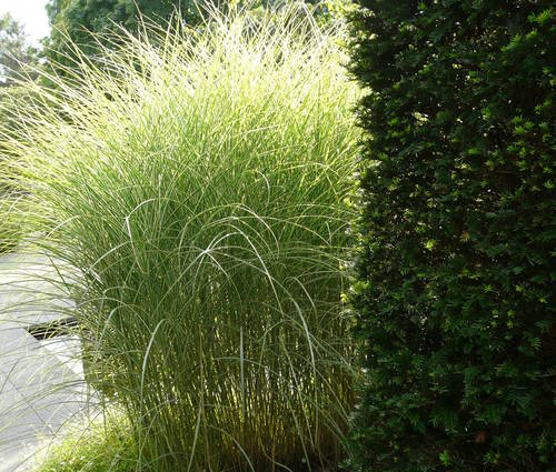 Produktbild Miscanthus sinensis 'Morning Light' - Weißbuntes Chinaschilf