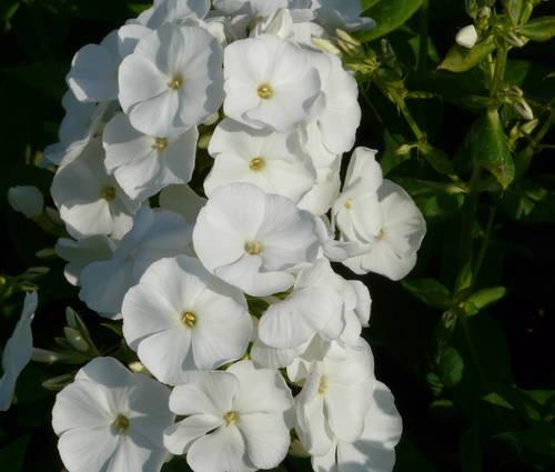 Produktbild Phlox paniculata 'Pax' - Sommer-Phlox