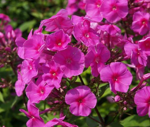 Produktbild Phlox amplifolia 'Winnetou' - Großblatt-Phlox