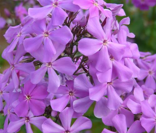 Produktbild Phlox amplifolia 'Great Smoky Mountains' - Großblatt-Phlox
