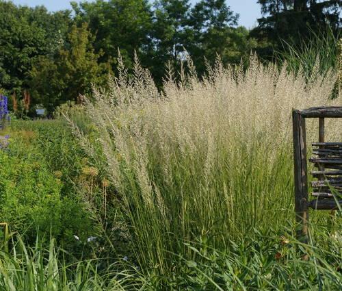 Produktbild Calamagrostis x acutiflora 'Waldenbuch' - Garten-Reitgras