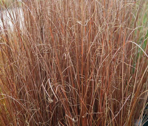 Produktbild Carex buchananii - Fuchsrote Segge